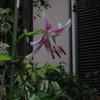 葉月 8月の徒然 5ん年ぶりに咲いたカノコユリ