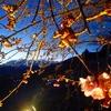 松田山ハーブガーデンの早咲き桜
