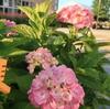 札幌市 紫陽花あふれる発寒春日緑地