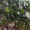 龍口寺の椿
