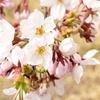 鶴ヶ城の桜2019 桜まつり・見頃時期・開花状況・アクセス・駐車場