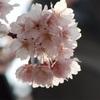 埼玉県内桜の開花が始まる!〜本格的な開花は26日以降か?
