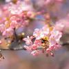 咲き進む河津桜