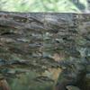 アユPlecoglossus altivelis altivelis