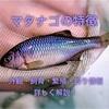 マタナゴの特徴 外観・飼育・繁殖・釣り情報を詳しく解説!