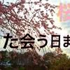 桜風『また会う日まで』千葉公園 DJI Japan cherry blossom③