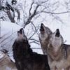 忍者もニホンオオカミも生き残ってるかもしれない