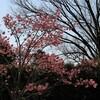 陽光桜とユリカモメ