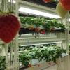 イチゴLED植物工場を新潟の泉田知事が視察