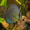 ディスカス Symphysodon aequifasciatus