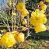 相模原公園で、ロウバイが咲いています ‼