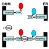 ER-mito間のMCSと、Caイオン動態 (Molecular Cell 2010年7月9日号掲載論文)