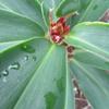 挿し木苗の福神草に花芽が見えました !!