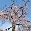 桜の花を追って、京都丸山公園と哲学の道へ