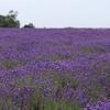 南ロンドンのラベンダー畑を楽しむ
