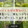 【家庭菜園】シシトウが元気ない!?葉が黄色いし、実もつかないので現状レポートしておきます!