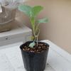 茎ブロッコリー<苗完成。しかし曲がってる!>