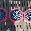 【体験学習的お出かけ】初めてのブルーベリー摘み。いちご、ぶどう、みかん、柿、キウイ…遠出せずとも都内でフルーツ狩りを楽しめる練馬区の実力