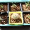 実生のグラキリス 種まきから2ヶ月
