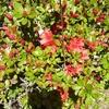 4月13日 ツツジの開花
