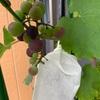 ブドウが色づいてきています