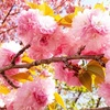 季節を楽しみ子どもの学力もつける!! 八重桜の塩漬けをつくろう!!