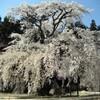 飯田市周辺の桜