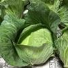 秋野菜に突入 キャベツの収穫