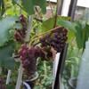 意外と簡単、果樹栽培