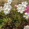 よく晴れた冬の日にオキザリスが咲きました。