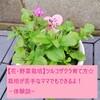 【花育】ツルコザクラ育て方☆栽培が初心者のママでもできるよ!-体験談-