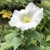 白色とピンク色の芙蓉の花です。優しくて美しいです。