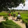 タイ東北部イサーン地方の稲作準備風景をご覧ください。