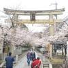 向日神社の桜。窓から見た光景。