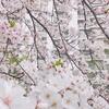 東川親水中公園の桜