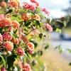Lantana ランタナ 道路脇の綺麗な花は雑草?