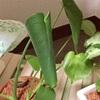 葉っぱがくるりモンステラ、グリーンネックレス完全復活
