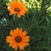 アフリカン デイジー と 今年も咲いた韮の花