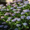 養源寺の紫陽花まつりは今週末!