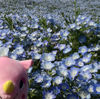 【茨城】特急ひたちに乗りひたち海浜公園へネモフィラを見に行きました