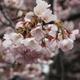 満開の椿寒桜