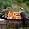 ベリーズ ジャングルのホテルの餌台に来た Golden-fronted Woodpecker (ゴールデンフロンテッド ウッドペッカー)