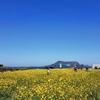 済州島(チェジュ島)春のフォトスポット #菜の花が咲く岬「ソプチコジ」