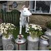 コーンウォールでおすすめの家族連れアトラクションは雨の日でも大丈夫!【DairyLand Farmworld】