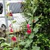 梅雨雨間庭にたむろ雀どち