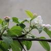 2012/04/22 リンゴ花咲く