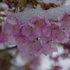雪見桜(前編)