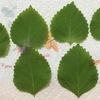 大葉(青じそ)を栽培してみました 大葉の栄養・効能・保存方法