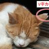地域猫とはとその保護を知る!耳カットは痛いか性別の見分け方は?