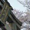 浜大津周辺の桜巡りへ